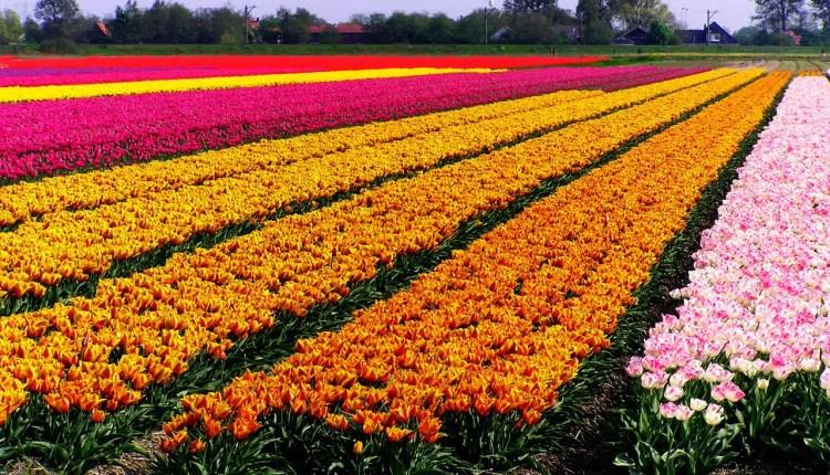 العمل في مزارع هولندا